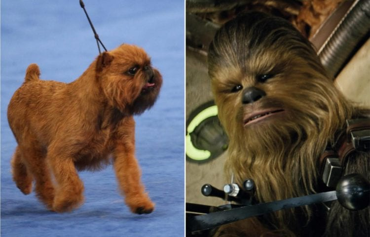 National Dog Show Brussels Griffon >> A Chewbacca Look-Alike Dog Wins The 2017 National Dog Show – Fan Fest | For Fans, By Fans